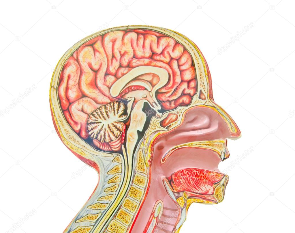Menschliche anatomische Modell vor einem weißen Hintergrund isoliert ...