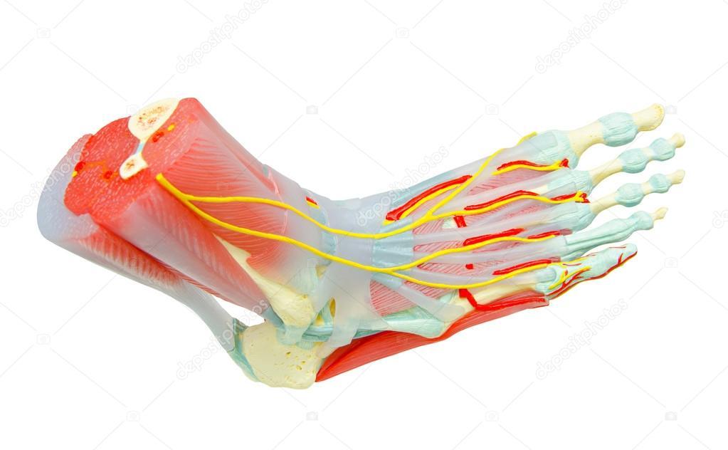 Menschlicher Fuß Muskeln Anatomie Modell für Studium Medizin ...