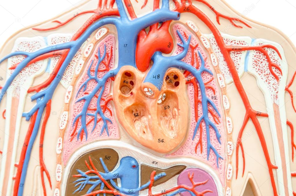 Modelo cuerpo humano con el hígado, riñón, pulmones y corazón ...