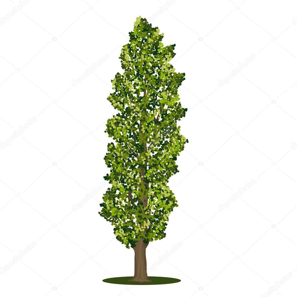 окраине тополь дерево картинка для дальнем плане