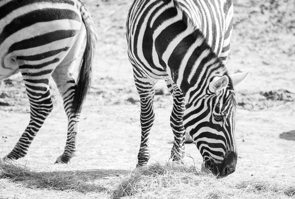 Zebras grazing in the nature