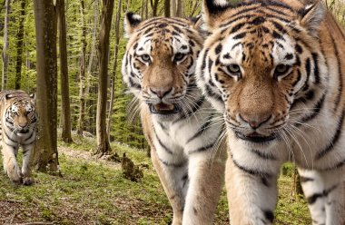 Curious tigers in the forest