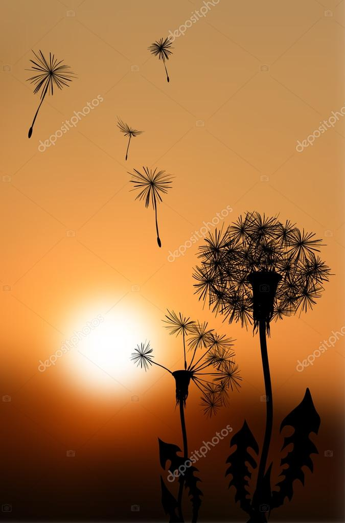Silhouettes of fading dandelions at sunset