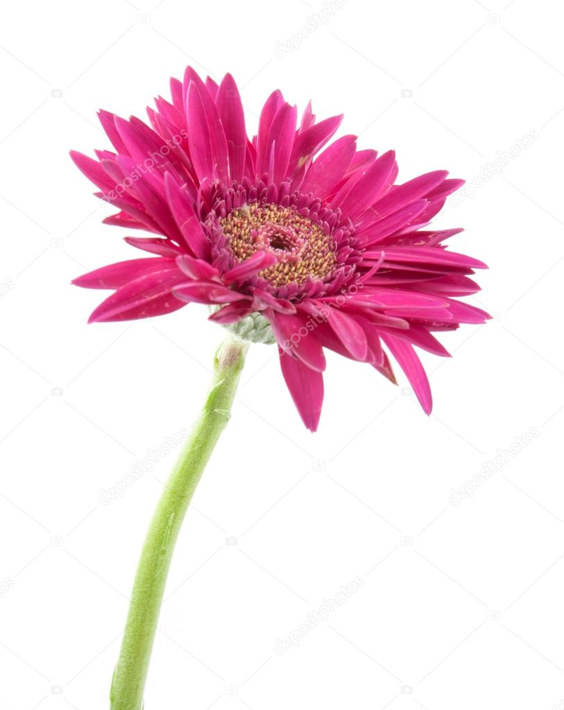 Single Gerbera Flower Pink Isolated On White Background Stock