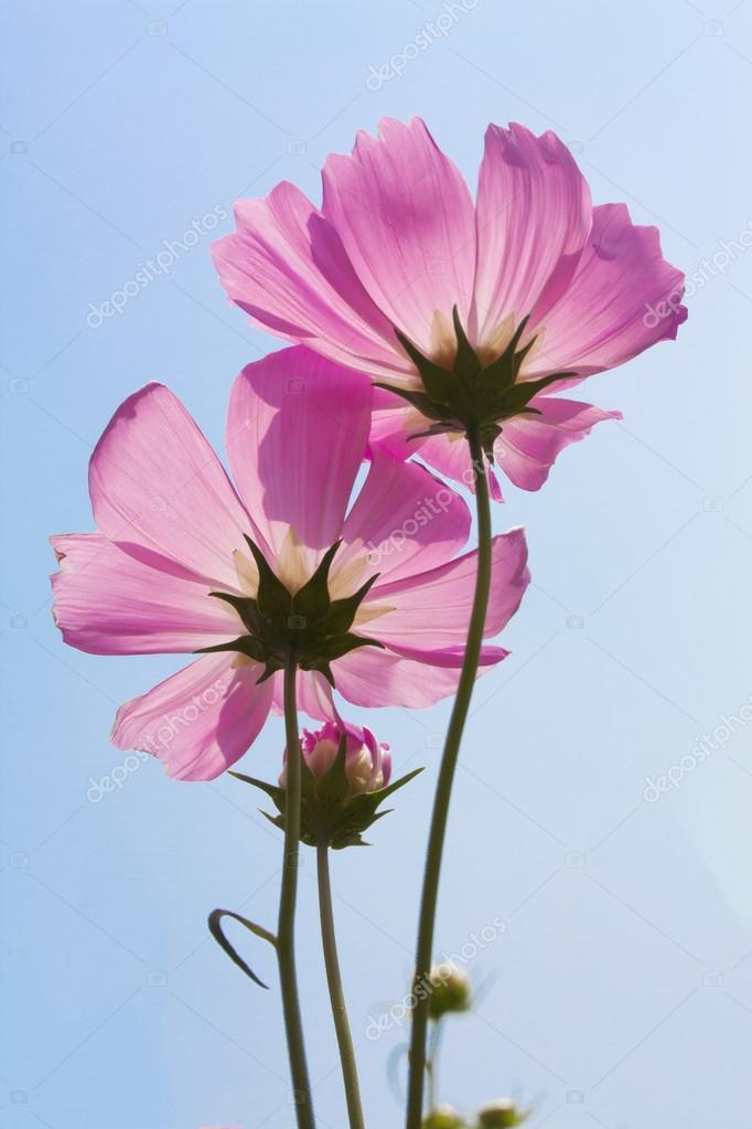Pink cosmos flower in the garden stock photo onairjiw 123780120 pink cosmos flower in the garden stock photo mightylinksfo