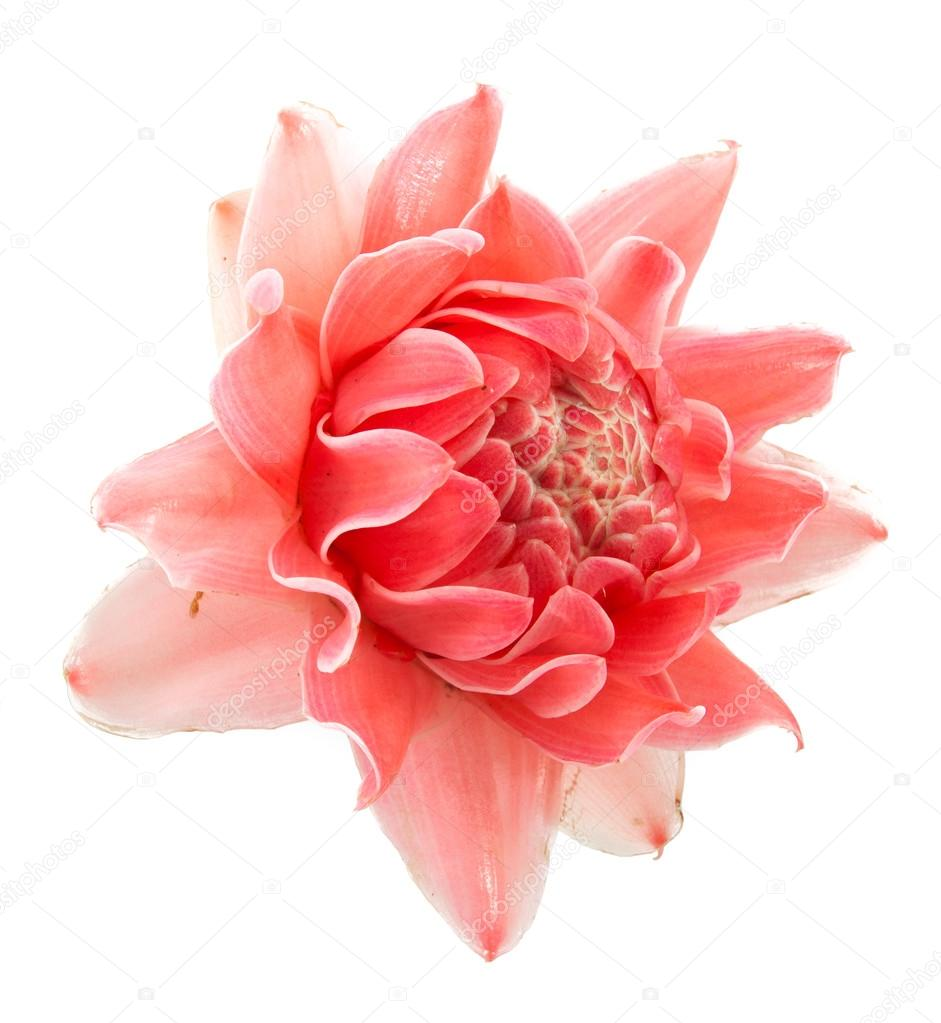 Closeup Pink Torch Ginger Flower Etlingera Elatior Stock Photo