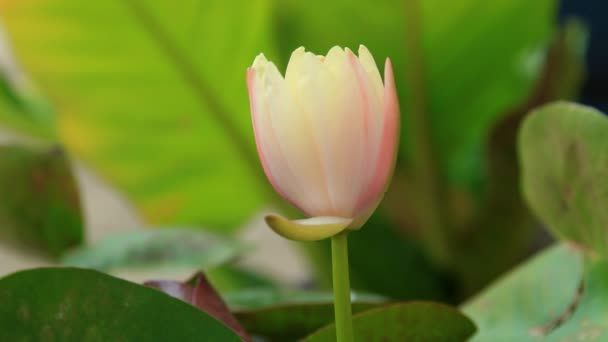 Set collection montage, time lapse and real time close up of pink yellow lotus.