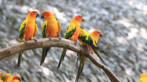 Roztomilý slunce Conure papoušek pták skupina na větev stromu, klipu Hd
