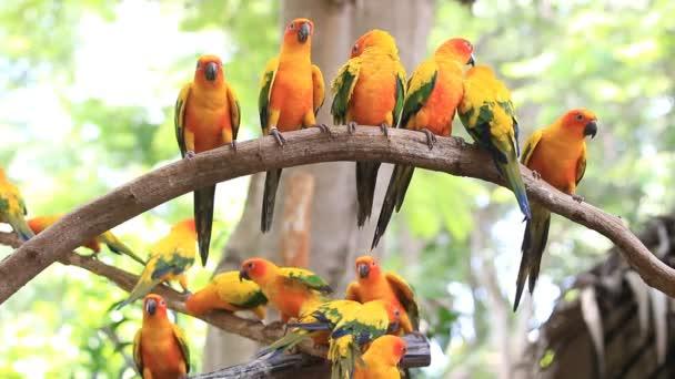 Aranyos nap Conure papagáj madár csoport fa ága, Hd klip