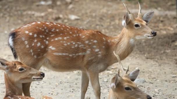 Chital, Gepard, Fleck- oder Achsenhirsch auf dem Boden liegend, HD-Clip