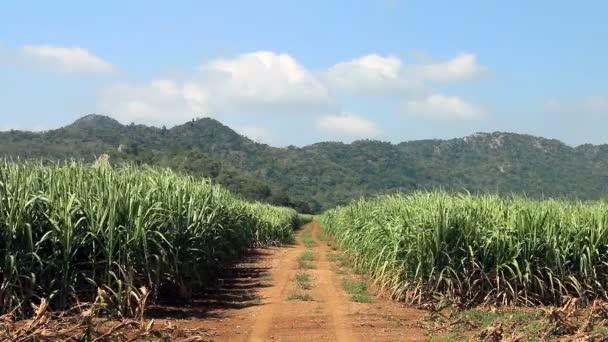 A cukornád mező út
