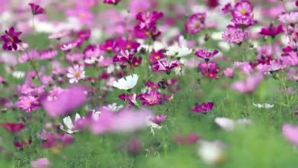 Fialové a žluté Kosmos květy kymácí ve větru