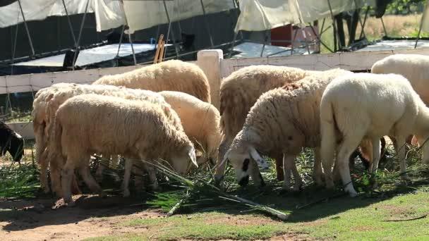 Ovce krmení ve farmě