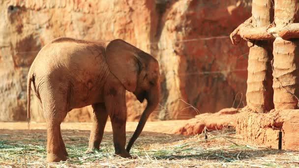 Étkezési levelek fiatal afrikai elefánt