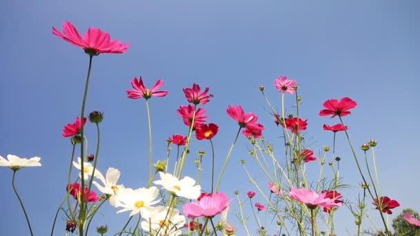 Pole květy bílé, růžové a fialové Kosmos kymácí ve větru