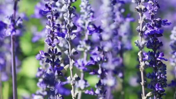 Purple Lavender flower field blowing in the breeze.