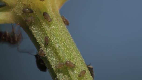 1080p, makro mravenců a révy vši na listí