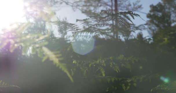 4K, raggi di sole attraverso felce, wee e alberi