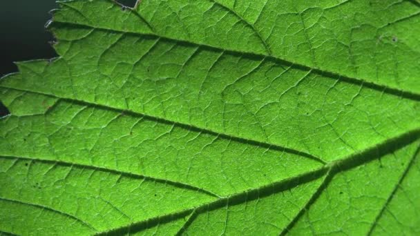Texture of fresh green leaf. Macro view plant in wildlife