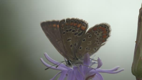 Az ezüstözött kék (Plebejus argus) egy pillangó a Lycaenidae családban, amely virágon és italos nektáron ül. Makró nézet egy rovar a vadon élő állatok
