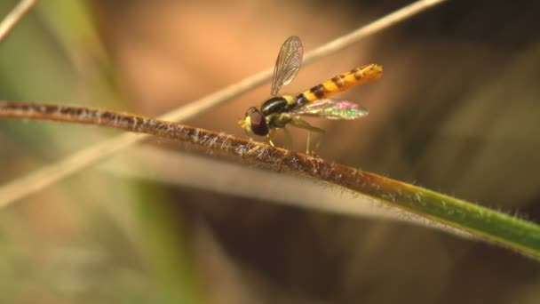 Simosyrphus Grandicornis sedí na žlutém květu v letní zahradě, vznášející se, Makro pohled hmyz v přírodě