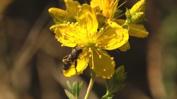 Vznášedlo sedí na žlutém květu v letní zahradě, vznáší, Makro pohled hmyz v přírodě