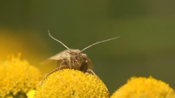 Pillangó Lamoria clathrella, szőrös rovar ül sárga virág, makró, fű zöld alapon, erdő, mező, kert, Közép-Európa, 4kLamoria egy nemzetség a kis lepkék családjába tartozó
