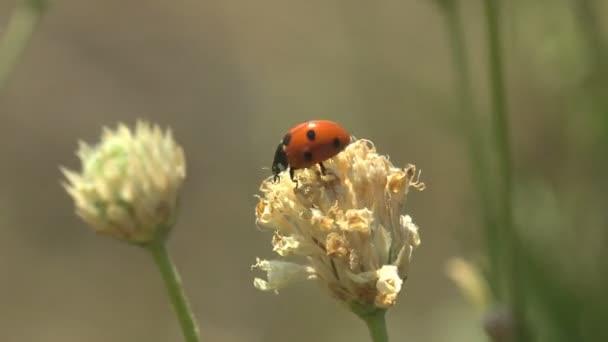Nyári szélben tántorogva - a vörös katicabogár száraz magbimbón, vadvirágon, zöld háttér mellett ül