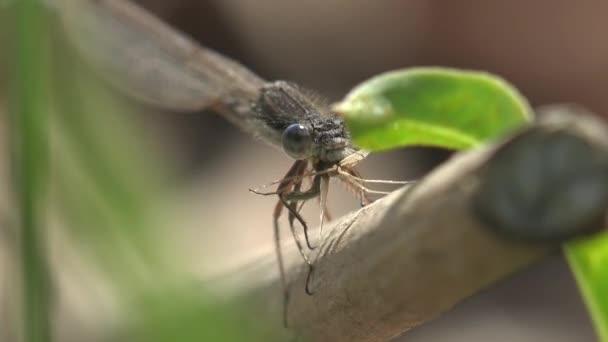Női kékúszójú lepke (Ischnura heterosticta) fej nagy állkapocs őröl szúnyog. Szitakötő ül a zöld fűben. Makro nézet rovar a vadon élő állatok