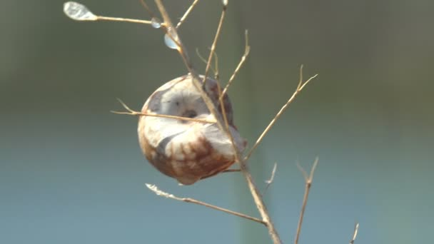 Movement around Land snail, terrestrial gastropod mollusks, sitting on dry bud with seeds in summer meadow. Macro view plant in wildlife
