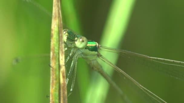 Női kékúszójú lepke (Ischnura heterosticta) fej nagy állkapcsokkal. Szitakötő ül a zöld fűben. Makro nézet rovar a vadon élő állatok