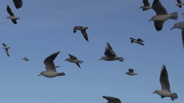 Rackové pomalý pohyb, létání nad vlny řeky, mnoho hejna