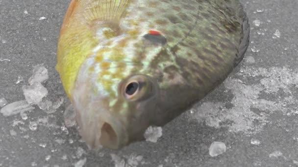 Nagy hal-ruff folyó télen a jégen