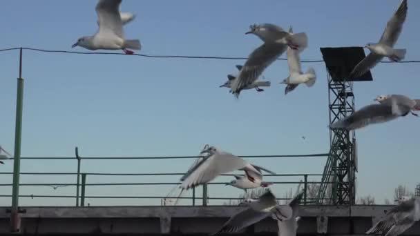 Racky letící nad vlnách řeky, mnozí hejna