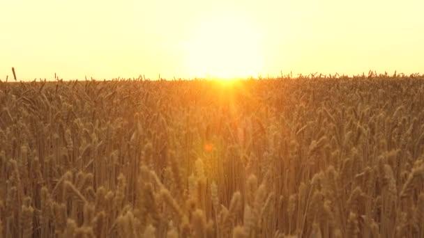 Sárga tüskék lengenek a szélben. érett gabona betakarítás az ég ellen. Gyönyörű ég felhőkkel a vidéken egy búzamező felett. Egy hatalmas sárga búzamező idilli természetben, a naplemente arany sugaraiban.