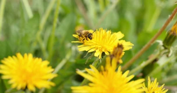 Biene auf gelben Blüten 4k