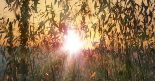 Sonnenstrahl Sonnenuntergang Gras 4k