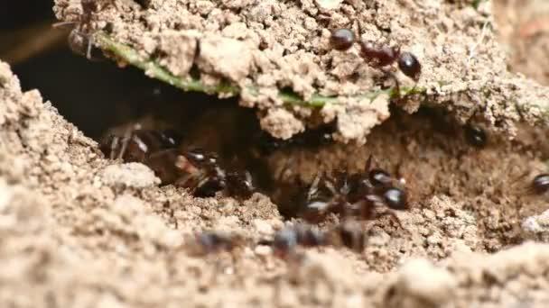 černých mravenců v hnízdě 4k
