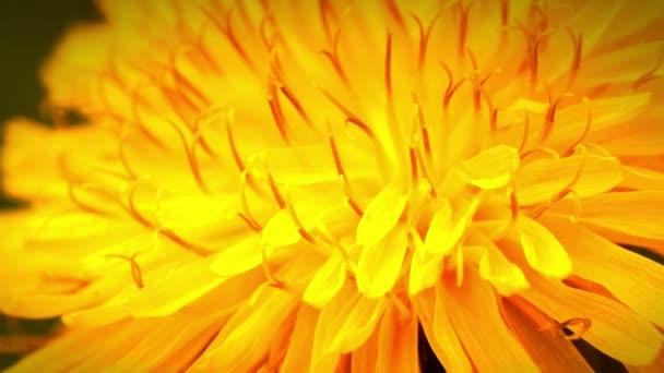 žluté pampelišky květiny makro 4k