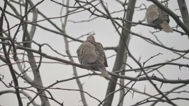 holubice ve stromě zimní čas 4k