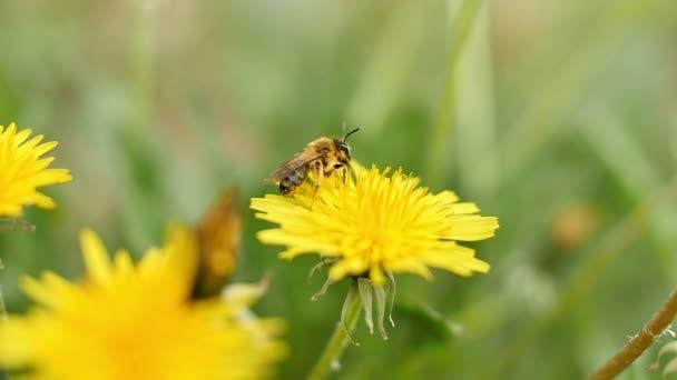 včela na žluté květy