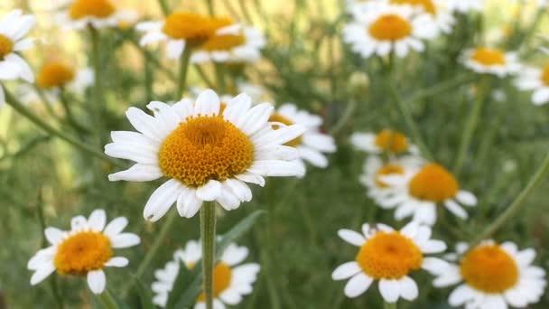 chamomile flower in meadow