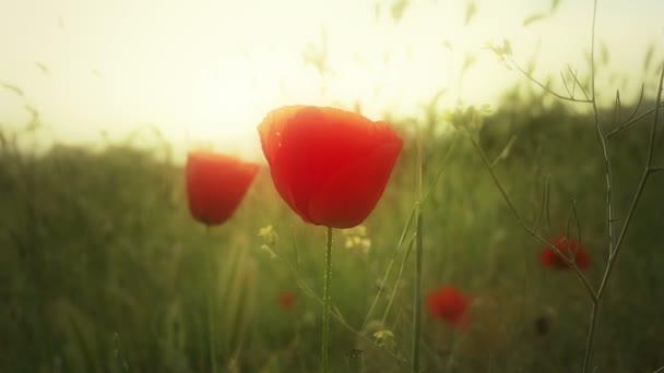 Květy máku na poli