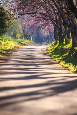 Cherry blossom tunnel,