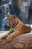 Tigre selvaggia, Thailandia.