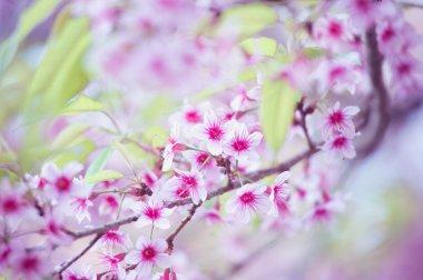 Himalayan Cherry (Prunus cerasoides) blooming at pang khon mount