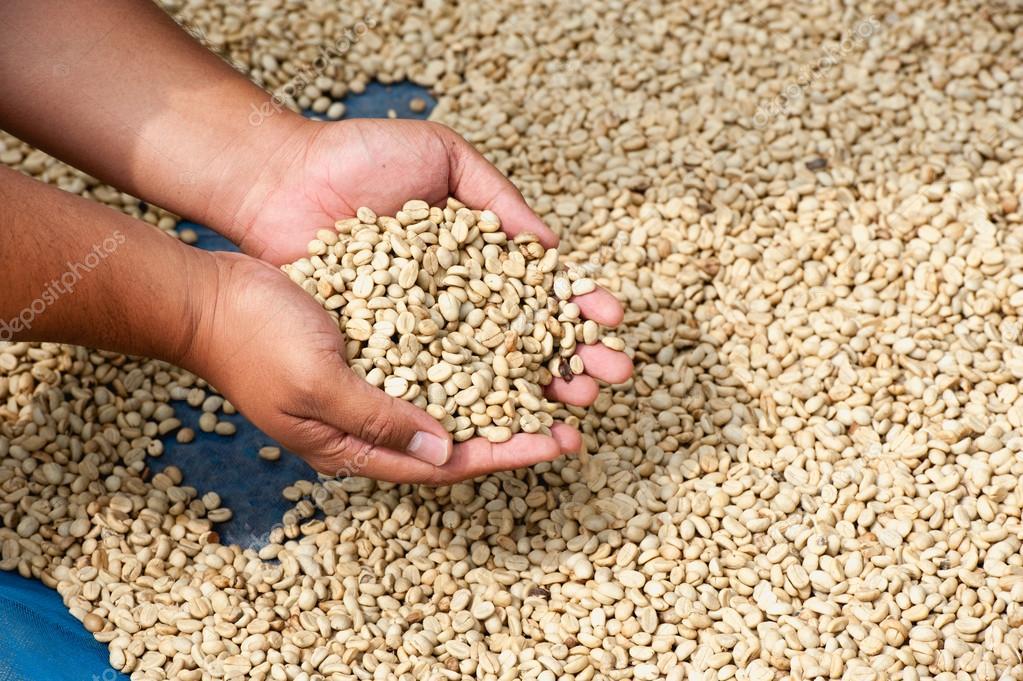 dry coffee beans in farmer hand at plantation on Pha Hi mountrai