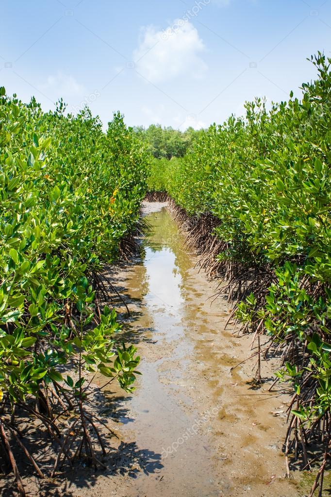 Forest at the river estuary, Mangroves.