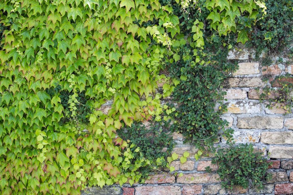 Texture Of Creeper Over Brick Wall Green Wall Stock