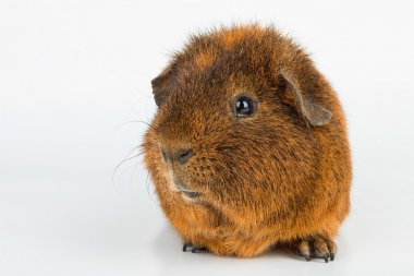 Guinea Pig. Macro.